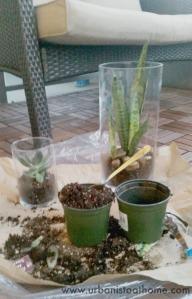 urbanistaathome-com-succulents-in-vases